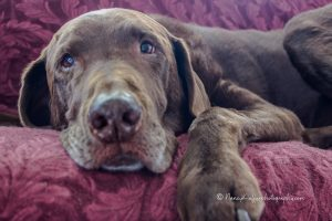 chocolate lab on couch