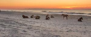Panorama of wild horses
