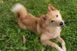 Tan dog looks like fox