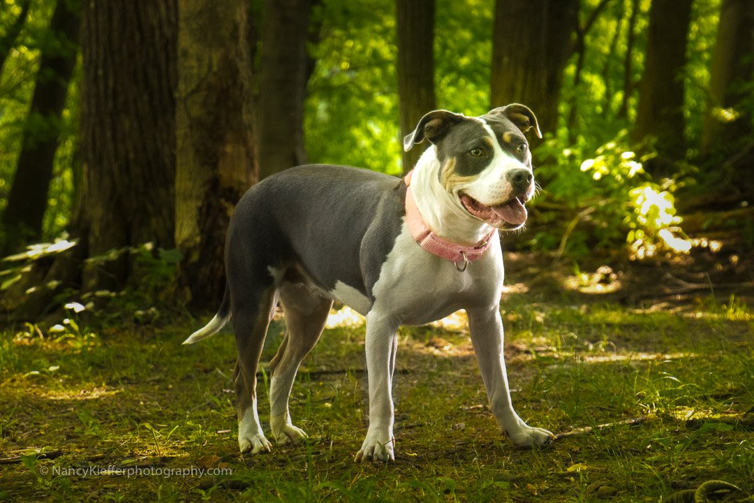 Tri colored dog in woods
