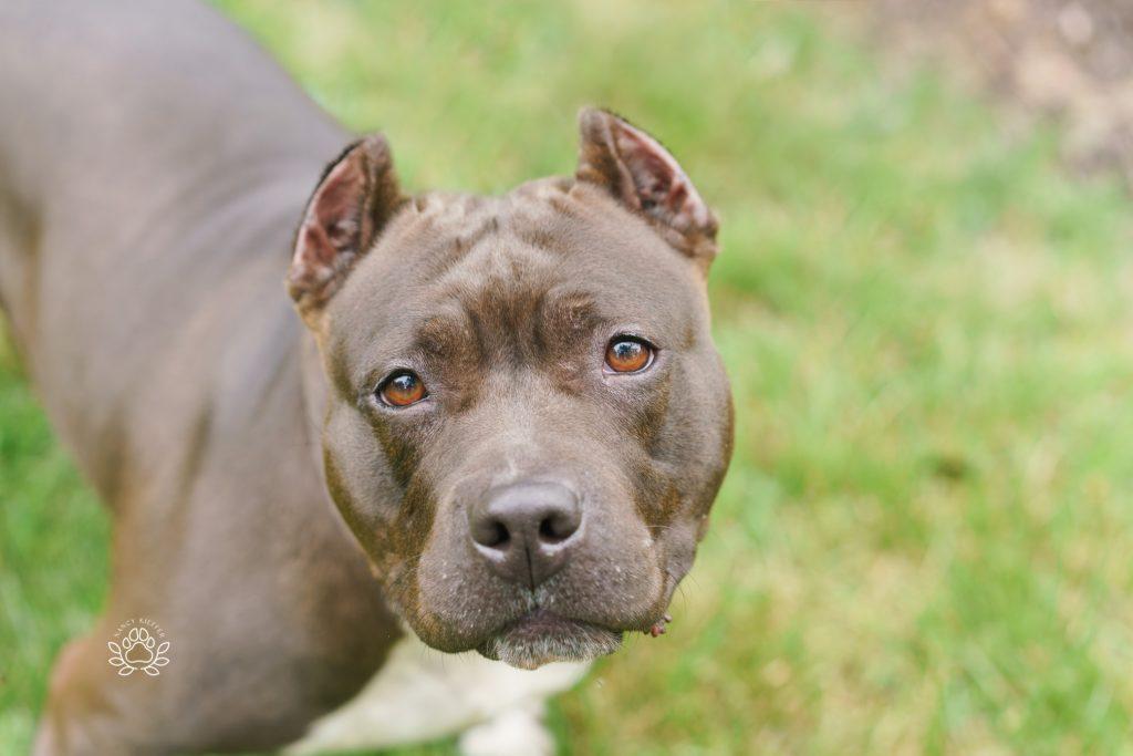 pit bull up for adoption