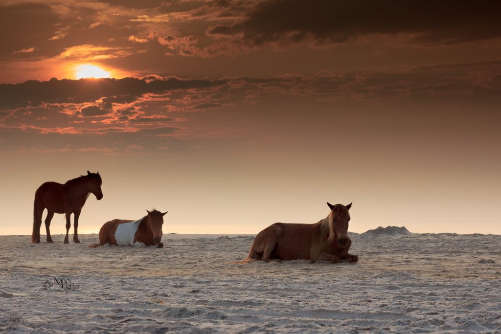 horses of assateague at dawn