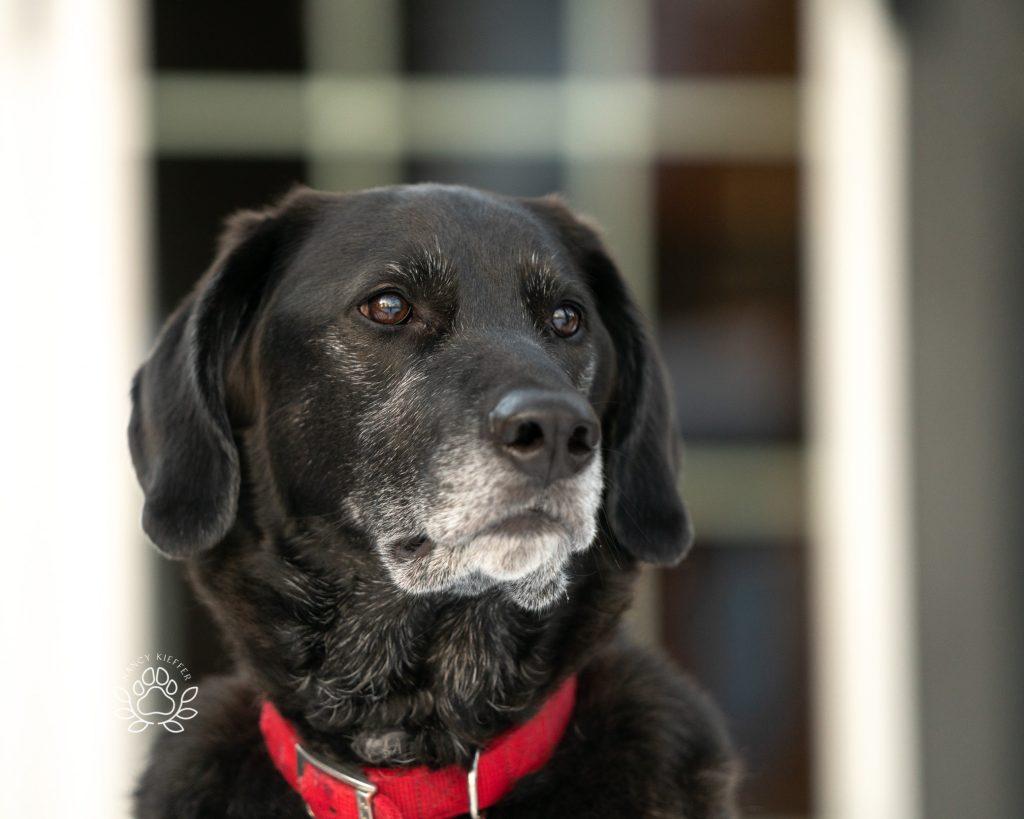 black dog - watchful