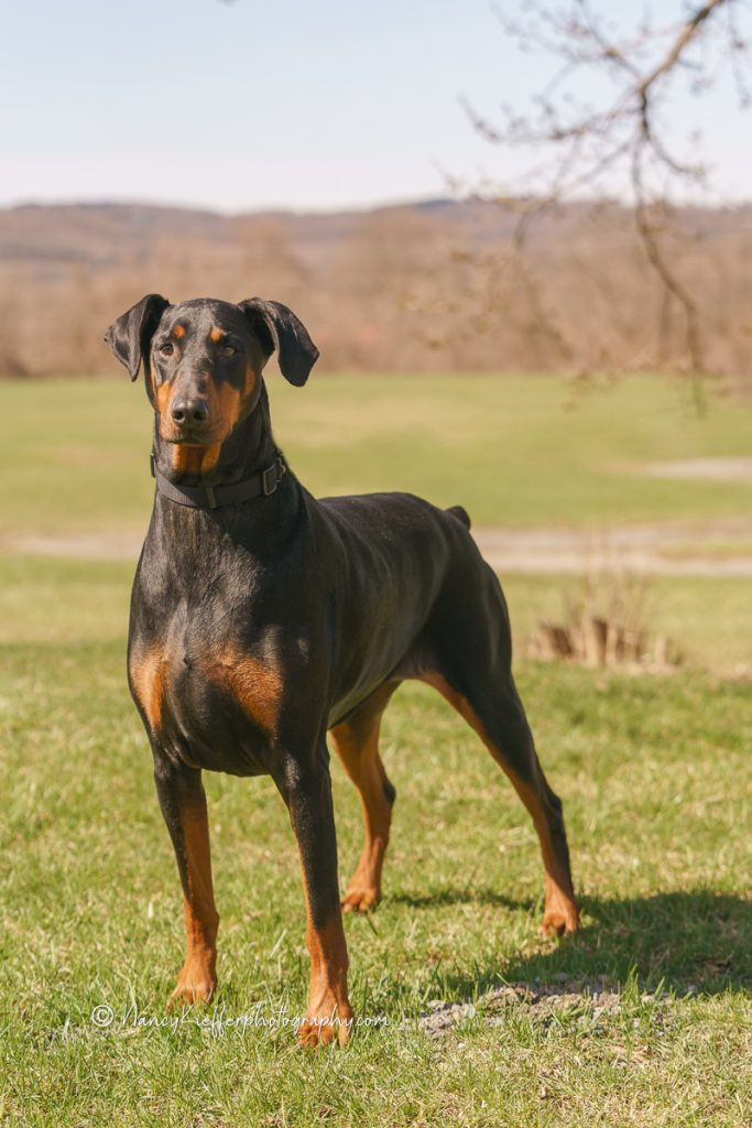 Cali the Doberman