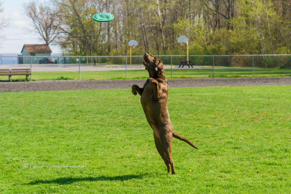dog catching frisbe