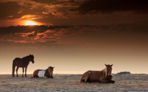 Asseteague island horses